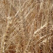 Озима м'яка пшениця Епоха одеська (еліта) фото