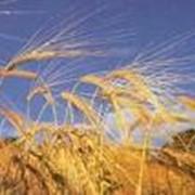 Зерно: пшеница, ячмень, тритикале фото