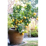 Картина по номерам Лимонное дерево фото