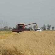 Элитные семена Озимой пшеницы,Озимого ячменя,Ярового ячменя,Озимого тритикале, Люцерны фото