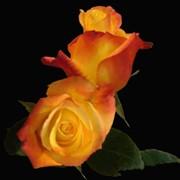 Роза Tressor_2000 фото