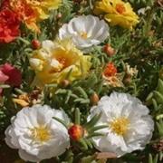 Цветы Портулак простой Соня (смесь) (0.2г) фото