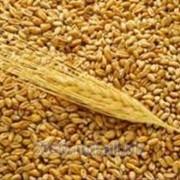 Пшеница и ячмень фото
