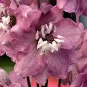 Семена цветов Дельфиниума Магический фонтан F1 250 шт. черри с белым глазком фото