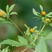 Травы лекарственные череды фото