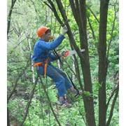 Удаление и кронирование деревьев фото