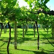 Шпалеры для виноградников фото