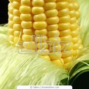 Кукурудза сладкая фото