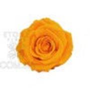 Роза Стандарт 6гол. желтый Код. RST/2350 фото