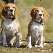 Дрессировка собак в Чугуеве, защита, подготовка к выставкам и соревнованиям фото