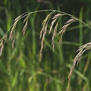 Овсяница тростниковая (Festuca arundinacea) фото