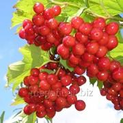 Калина обыкновенная (плоды) 50г фото
