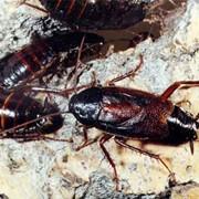 Дезинсекция уничтожение тараканов фото