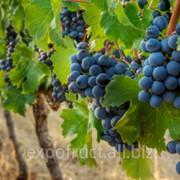 Виноград мускат гамбургский фото