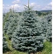 Ель колючая Picea Pungens Glauca фото