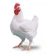 Суточные цыплята бройлер РОСС 308 фото