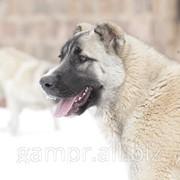Армянский Волкодав ГАМПР фото