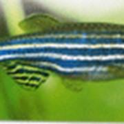 Рыбка Данио-Рерио фото