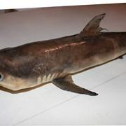 Чучело акулы цена в Украине и другие морские хищники. фото