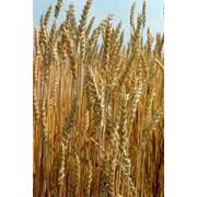 Пшеница продажа,производители опт Украина фото
