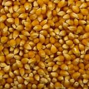 Кукуруза для попкорна оптом фото