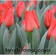 Сорт тюльпана LALIBELA фото
