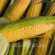 Кукуруза посевная фото