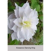 Клематис Dancing King фото