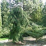 Ель обыкновенная Инверса (Picea abies 'Inversa') фото