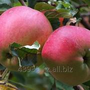 Яблока Суйслепское (Столовка) фото