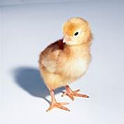 Премиксы для взращивания цыплят Польфамикс® Курчатко Екс фото