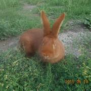 Продаж кролів фото
