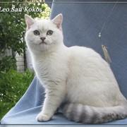 Разведение британских кошек драгоценных окрасов фото