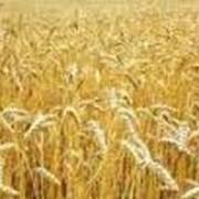Продукция сельского хозяйства семена вики фото