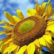 Семена подсолнечника Украинское Солнышко фото