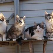 Котята породы норвежская лесная фото