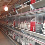 Батарея клеточная для птицеводства ТБК-4А фото