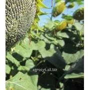 Семена подсолнечника Мас 92.КП (Mas 92.СР) (Импорт) фото