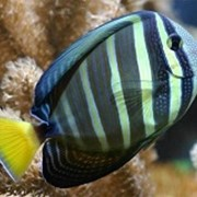 Рыба Зебрасома парусная чернополосая Zebrasoma veliferum фото