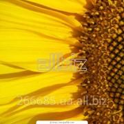 Закупка для фасовки ядра подсолнечника, а так же, семечки подсолнуха нечищенные, жареные фото