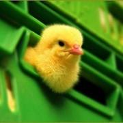 Цыплята бройлерные, пекинские утята фото