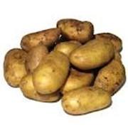Картофель сорта Романо фото