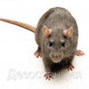 Оказание услуг по уничтожению крыс фото