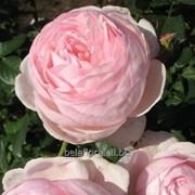 Саженцы роз парковых / грандифлора Монтеагро (Сербия) с ЗКС фото