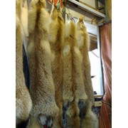 Шкуры лисицы мокросоленые(свежак) фото