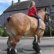 Лошадь - тяжеловоз Ardenner 3 фото