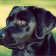 Разведение собак элитных пород. фото