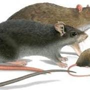 Дератизация, уничтожение, истребление крыс, избавиться от крыс фото