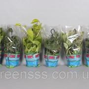 Эпипремнум перистый микс -- Epipremnum pinnatum mixed фото