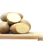 Картофель поздний семенной Атлант Элита фото